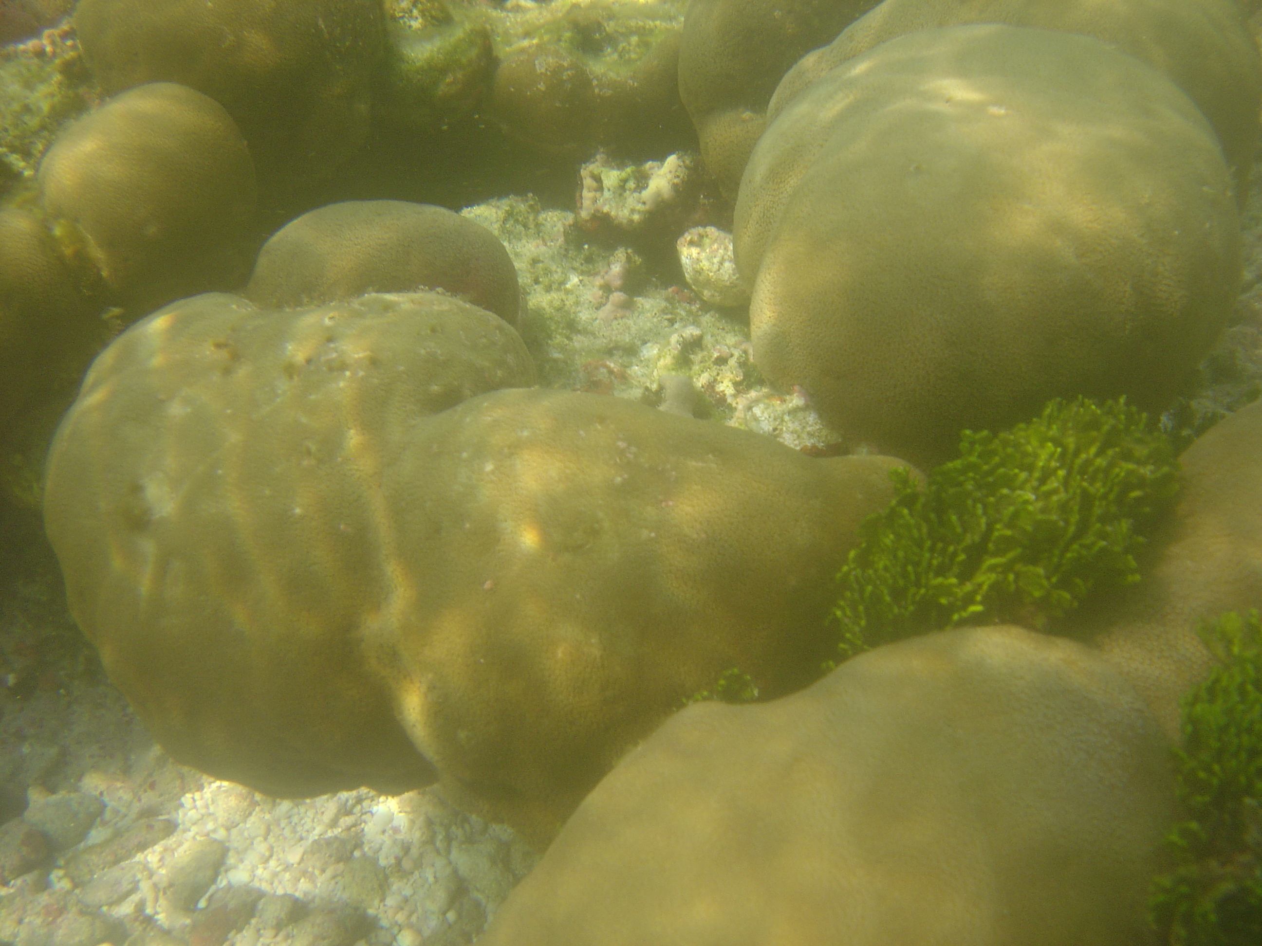 Algal (Helimeda macroloba) growth on the healthy reefs of Kavarathi island