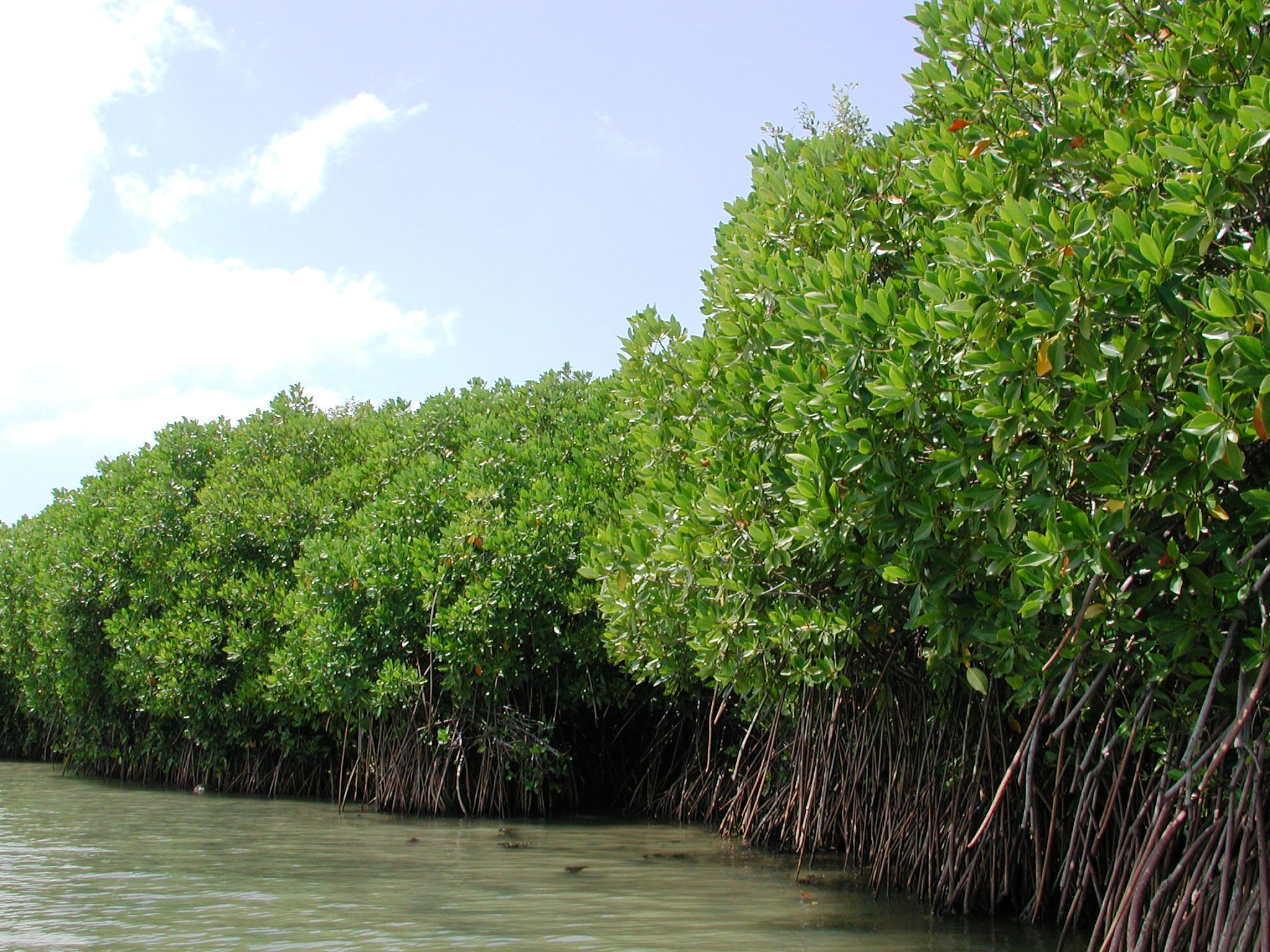 View of mangrove forest-