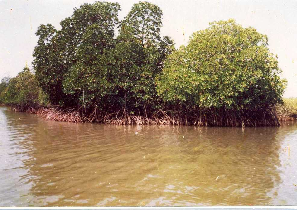 View of mangrove forest